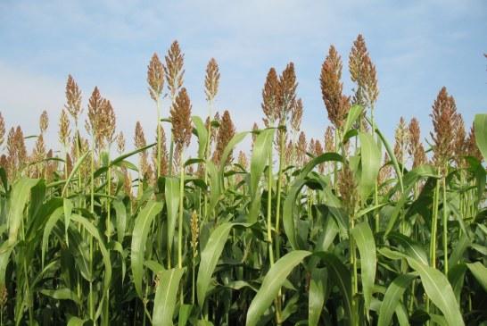 Sorgho : Brise vent pour jeunes plantations