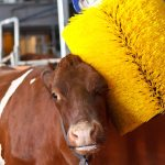 brossage automatique des bovins
