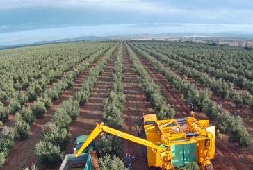 Récolte moderne des olives : Vers une huile de meilleure qualité
