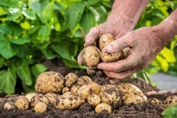 Pomme de terre: réussir l'opération de la plantation