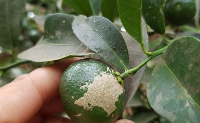 Thrips des agrumes: la profession se mobilise