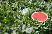 Pastèque: développement et diversification de la production