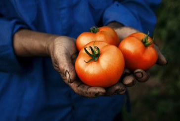 La tomate dans la région Mohamedia-Oualidia: Une culture traditionnelle qui perdure