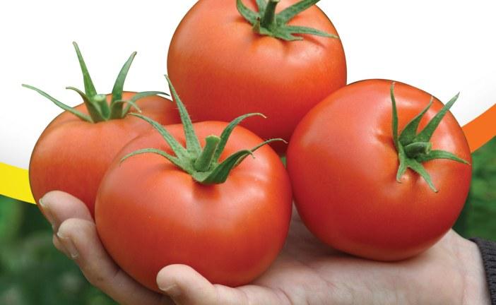 AGRIVIVOS présente sa nouvelle variété de tomate Nevada F1