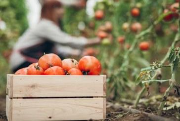 La tomate et les défis du goût