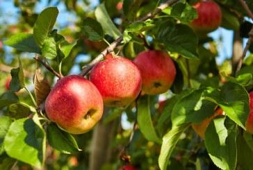 Pommes : Quelques précautions pour garantir des fruits de bonne qualité