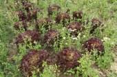 Les «mauvaises herbes» de l'agriculture biologique profitent aux colonies d'abeilles