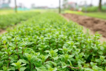 Menthe bio Comment gérer les mauvaises herbes sans herbicides ?