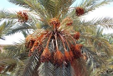 Réalisation d'un pollinisateur du palmier dattier