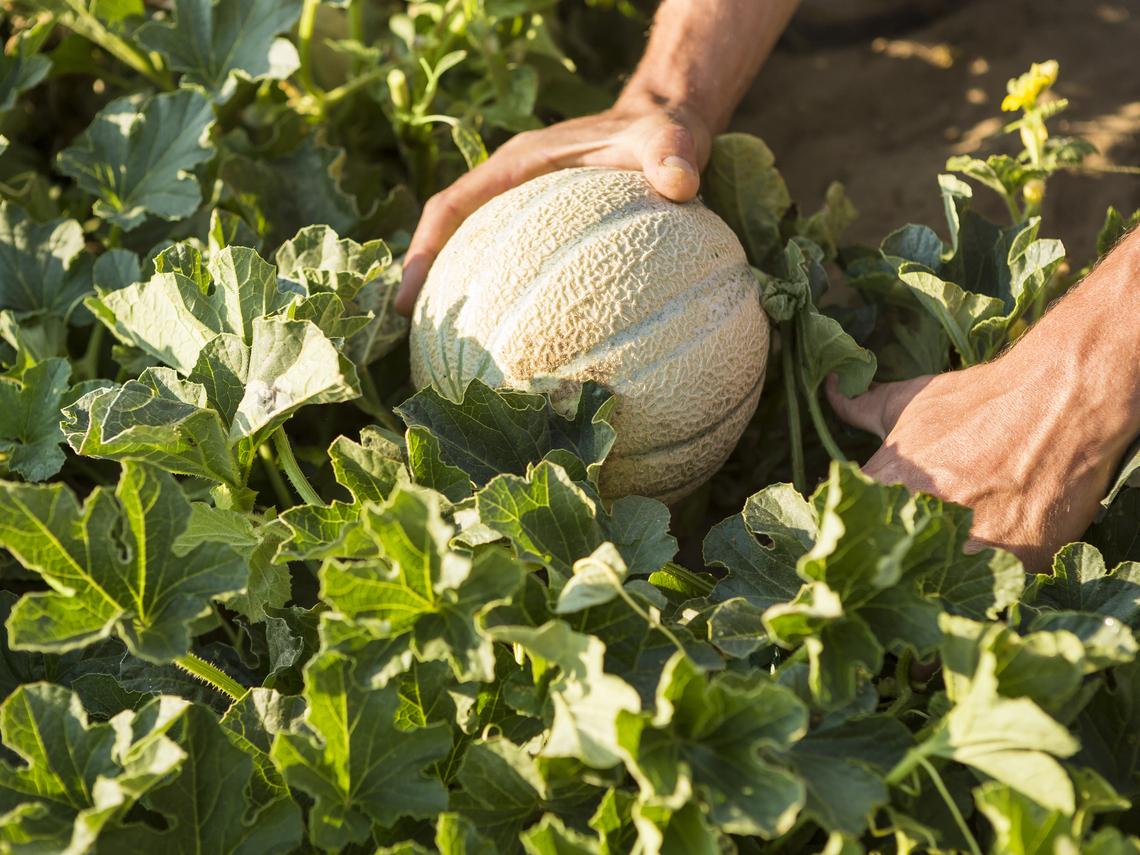 Melon charentais: conditions pour réussir la production et la commercialisation