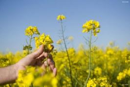La filière oléagineuse : un levier pour l'agriculture pluviale au Maroc