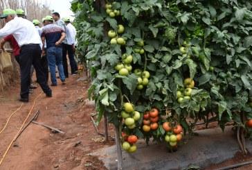Tomate de plein champ:  Eviter toute rupture d'approvisionnement du marché en tomate