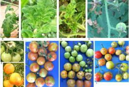 Le Virus du fruit rugueux de la tomate brune (ToBRFV) inquiète les producteurs