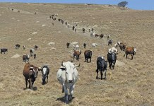 Profiting-from-indigenous-livestock