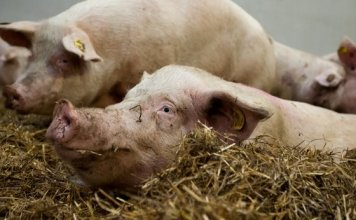 Thebestventilation pigs