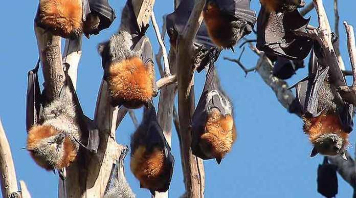 nipah-bats