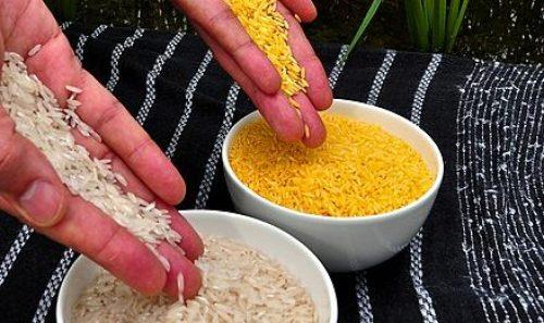 Il Golden Rice a confronto con il riso bianco (Fonte: Wikipedia)
