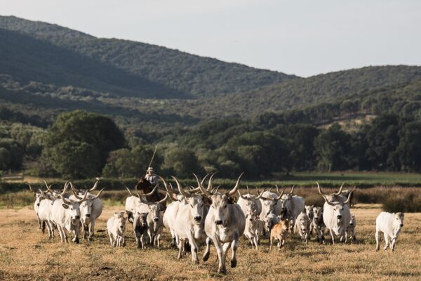 una mandria di bovini maremmani nella tenuta di Alberese