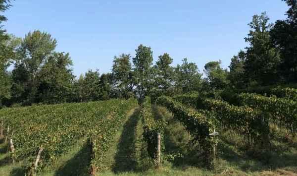 Una delle vigne dell'azienda Mulini di Segalari a Bolgheri di Castagneto Carducci