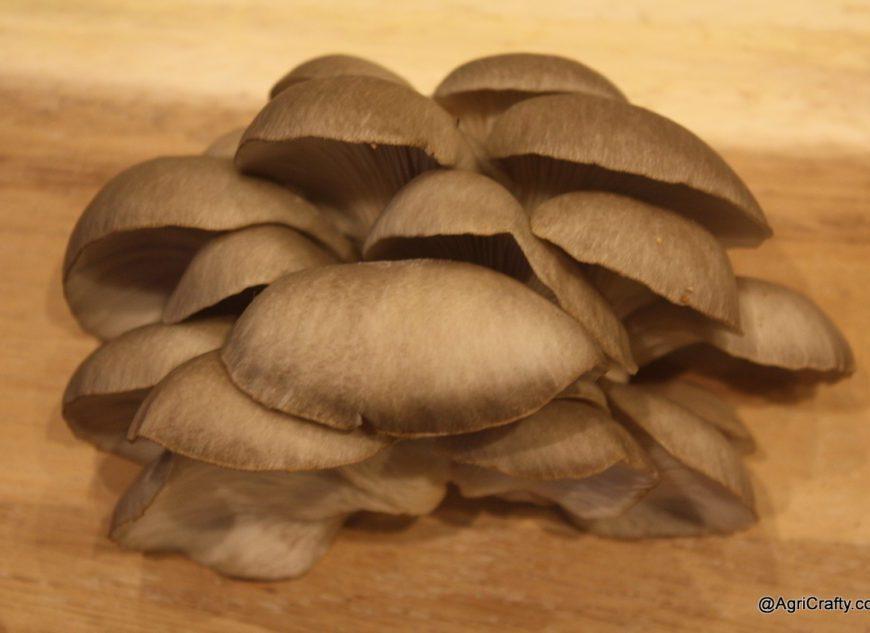 Flush of Oyster Mushrooms