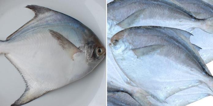 Pomfret Fish Farming, Types of Pomfrets – a Full Guide