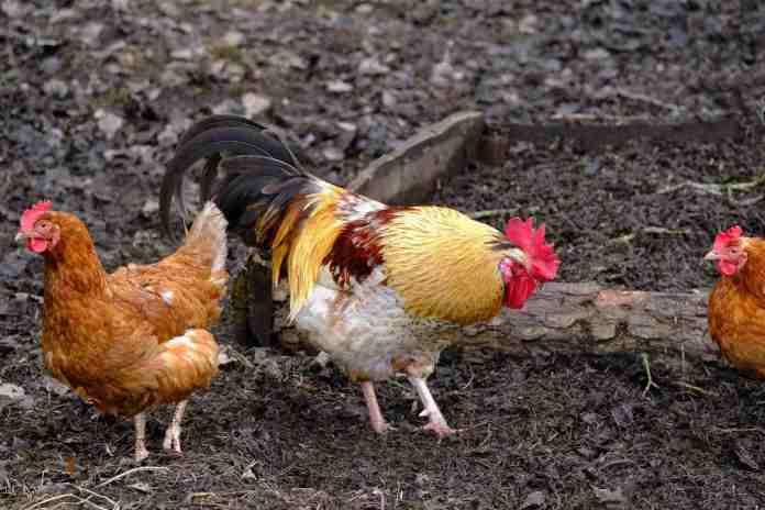 Country Chicken in Backyard
