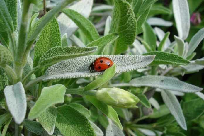 Pests on Sage Plant