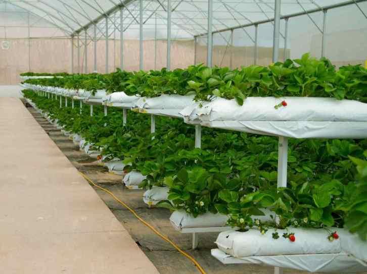 Greenhouse Strawberry Farming