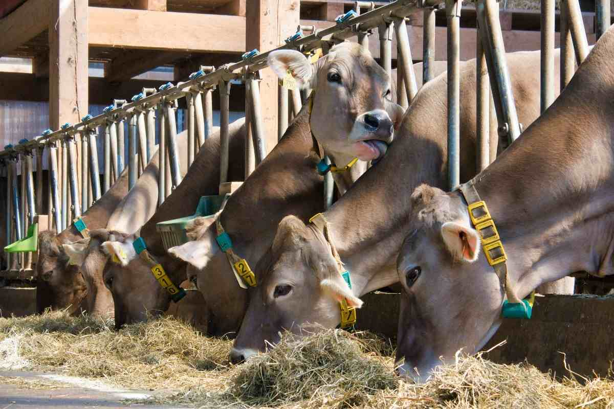 Feeding Requirement for Dairy
