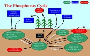 Phosphorous Cycle Process : agri learner