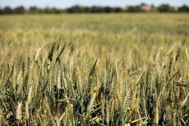 (Wheat Disease)