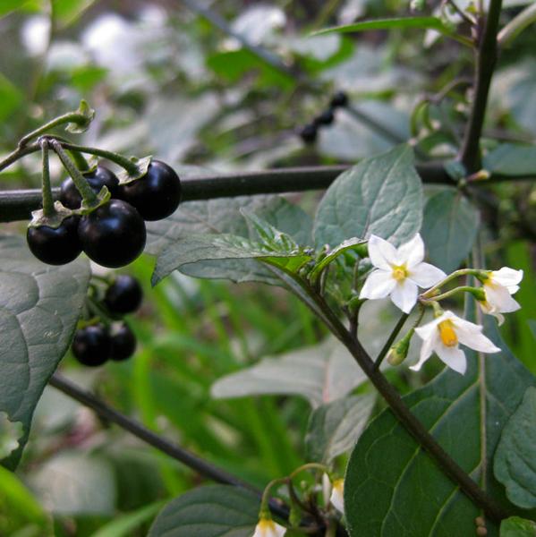 Solanum cultivation