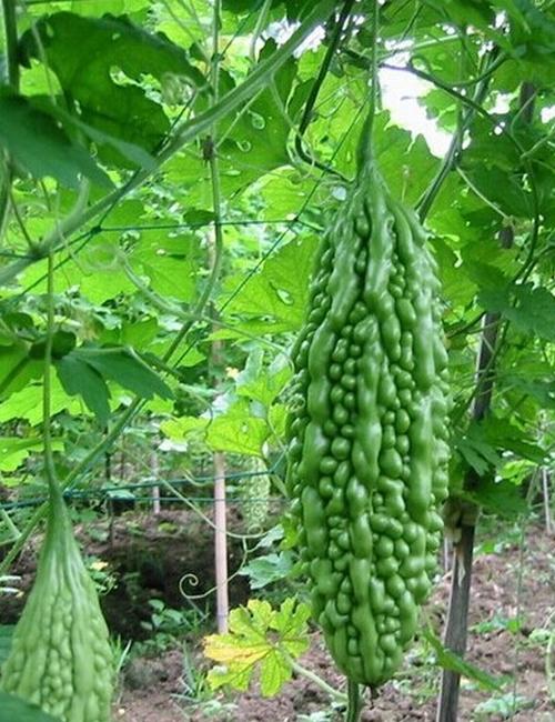 Bitter gourd cultivation