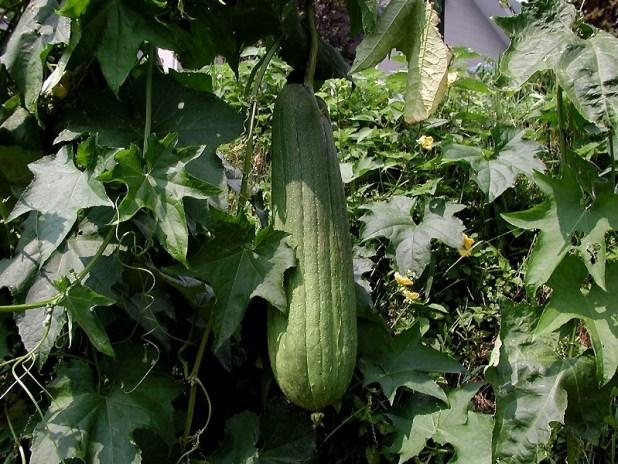 sponge gourd cultivation