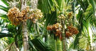 Arecanut cultivation
