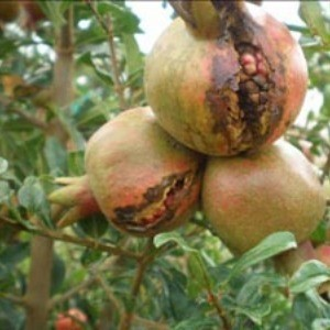 Diseases of Pomegranate