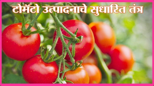 टोमॅटो उत्पादनाचे सुधारित तंत्र