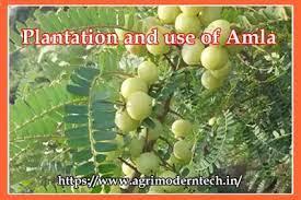 plantation-use-amla