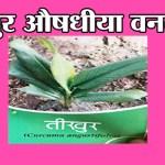 तीखुर औषधीया वनस्पती