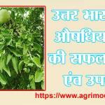 उत्तर भारत के औषधिय फल बेल की सफल खेती एवं उपचार