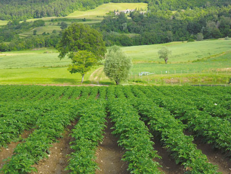 le patate di Pasquali