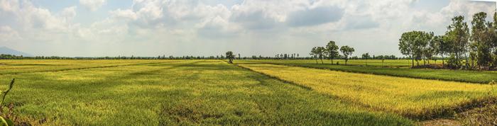 semina del riso