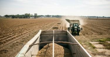Amendoim - Vida Rural  (1)