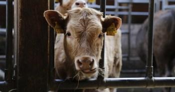 2 milhões de euros da UE para desenvolver uma rede de inovação de carne de bovino na Europa
