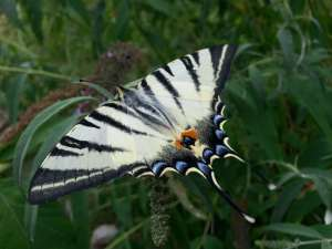 Natura Circostante - Una Rara Farfalla Alpina