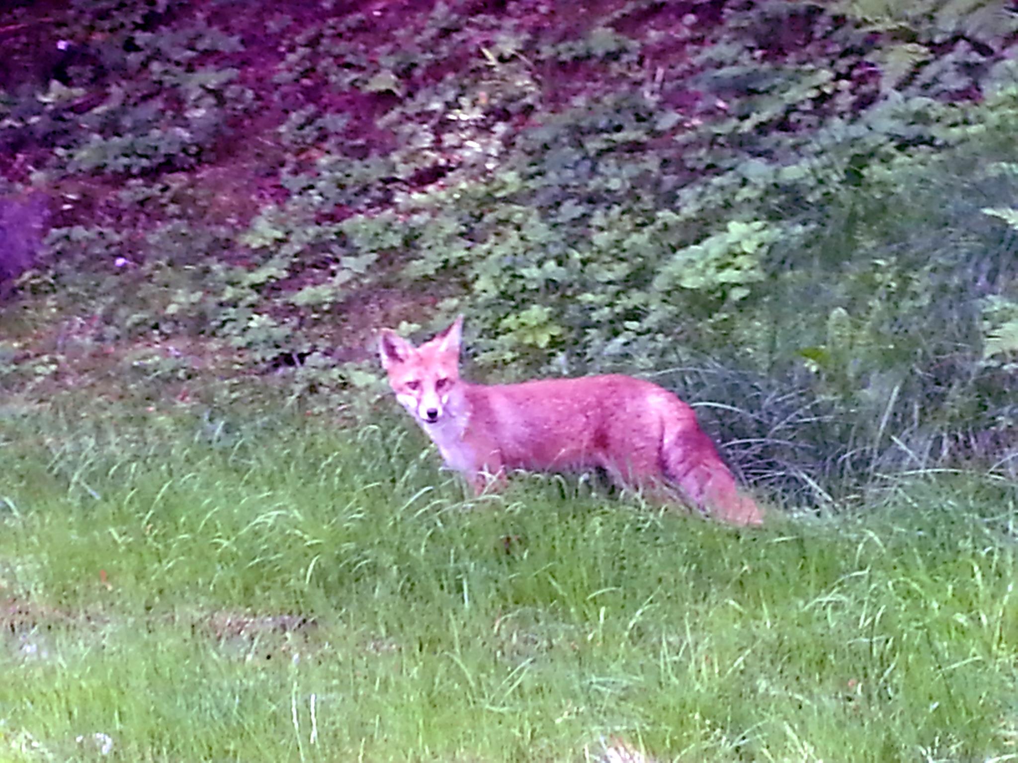 Al-Marnich Fox - La Volpe in Vacanza ...