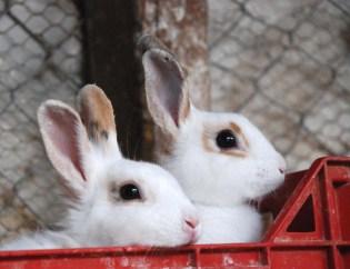 conigli cassetta rossa