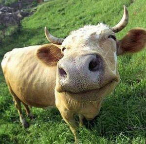 красивая коровка