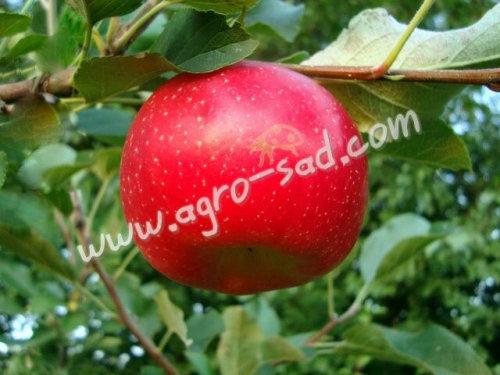 Яблоня Гала Маст - описание сорта, саженцы - Агро Сад