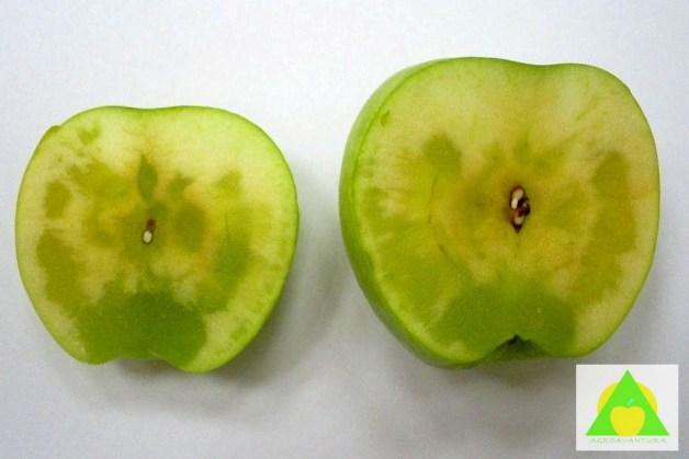 Simptomi staklavosti na preseku ploda jabuke